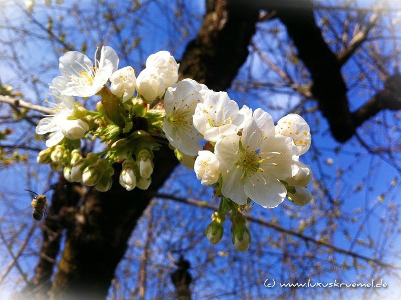 IMG_3933_cherry_blossom_web