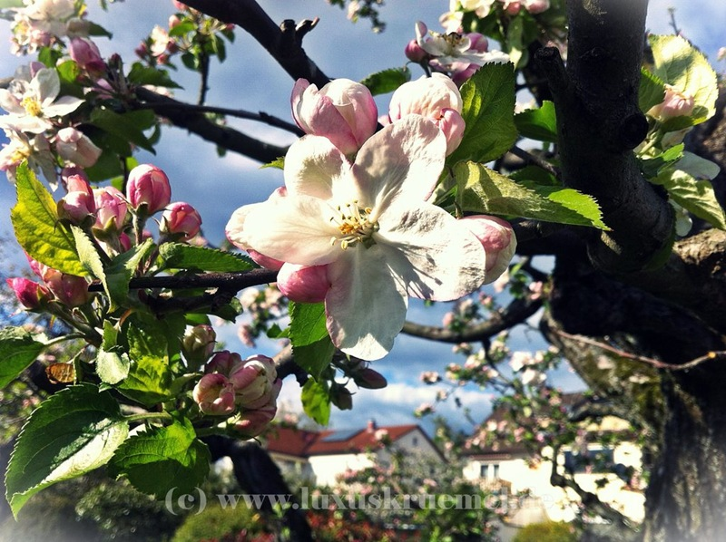 IMG_4007_apple_blossom_web
