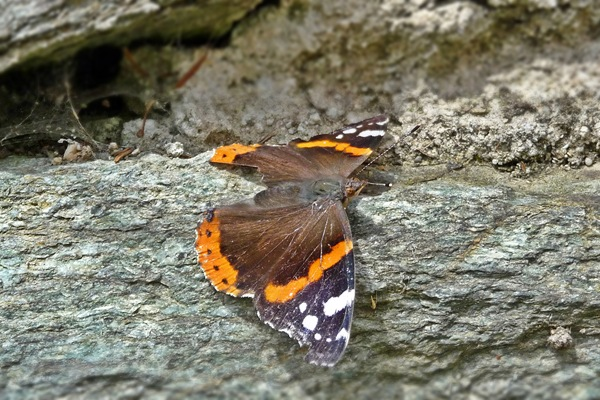 Admiral in der Sonne #Schmetterling #Admiral #Insect #Insekt #Butterfly