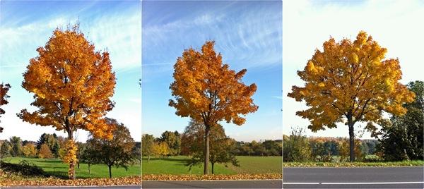 IMG_5981_goldentree-horz