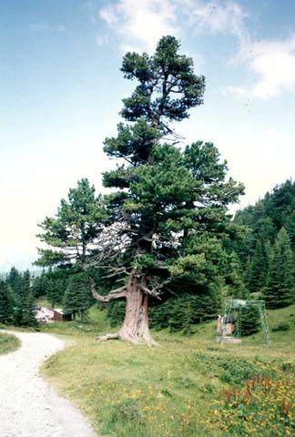 1993_hohe_Tauern_Baum