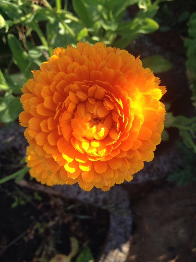 Blüte einer Ringelblume